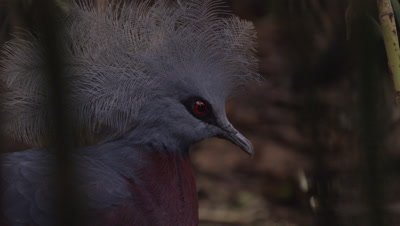 Western Crowned Pigeon on Forest Floor (set-up)