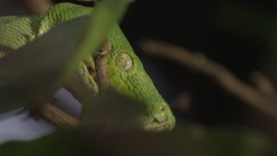 Close up of snake's face, possibly Green tree python, as it climbs a citrus tree