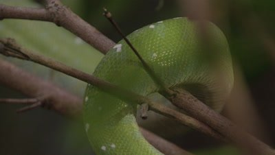 View of snake's coils, possibly Green tree python, as it climbs a citrus tree