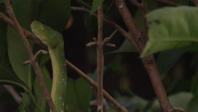 Snake, possibly Green tree python, climbing a citrus tree