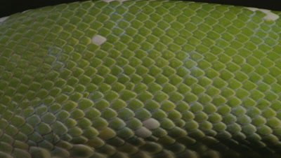 Extreme close up of snake's scales, possibly Green tree python, as it rests in citrus tree