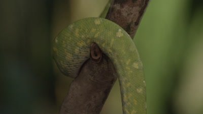 View of snake's tail, possibly Green tree python, as it climbs a citrus tree