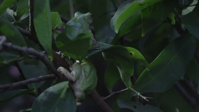 Tree frog pair sitting in citrus tree at night