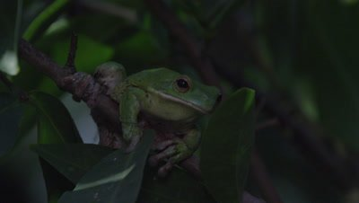 Tree frog climbs on a citrus tree branch at night