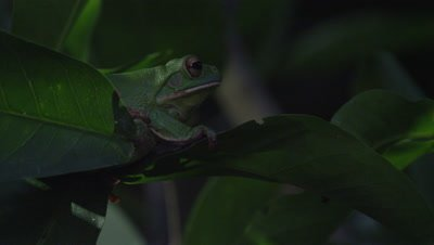 Tree frog croaking while sitting in a citrus tree at night