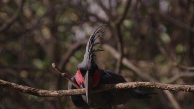 Palm Cockatoo biting a tree branch