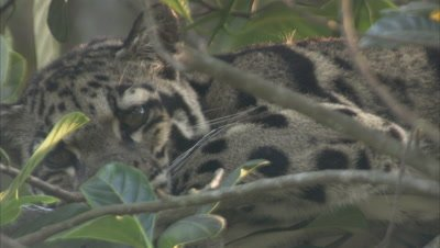 Clouded Leopard Rests in Tree