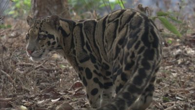 Clouded Leopard Walks in forest, stops to scent mark by urinating