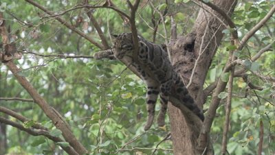 Clouded Leopard Rests on Branch