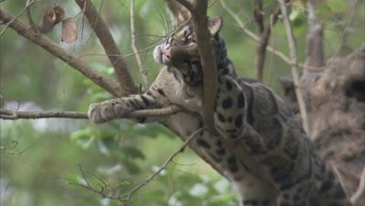 Clouded Leopard Rests, Lounges on Tree Branch