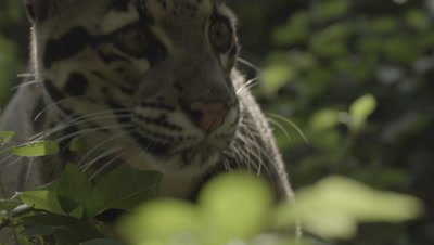 Clouded Leopard walking through forest, stops to smell vegetation