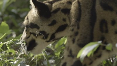 Clouded Leopard walking through forest