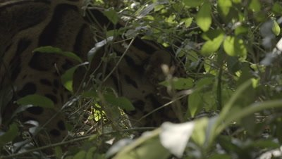 Clouded Leopard rolling in vegation on forest floor