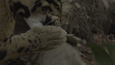 Clouded Leopard licking paw pads