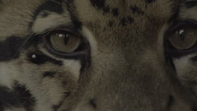 Close up on Clouded Leopard face and eyes with mouth open (Flehming)