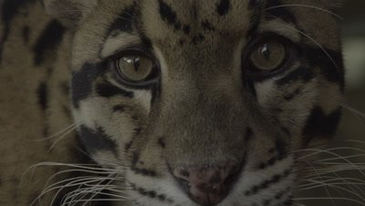 Close up on upper half of Clouded Leopard face