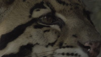 Close up on Clouded Leopard face as it licks it's chops