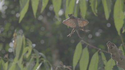 Draco Lizard take off and glide