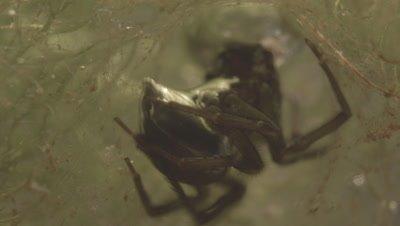 Diving Bell Spider building web underwater (filmed in tank)
