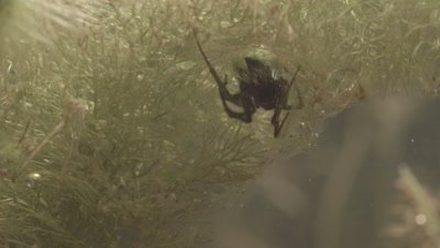 Diving Bell Spider building web underwater (filmed in tank)
