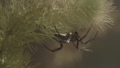 Diving Bell Spider moving around underwater (filmed in tank)