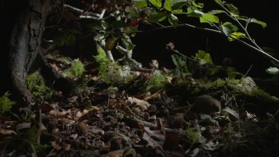 Dormouse creeping through the forest floor at night