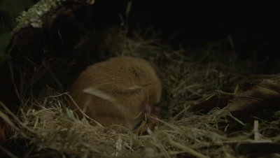 Dormouse resting in it's nest at night