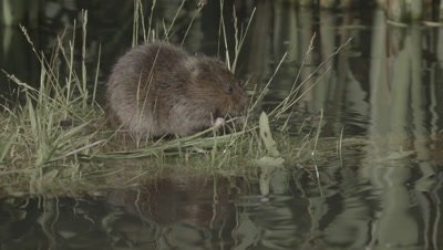 European Water Vole forgaing in the shallows