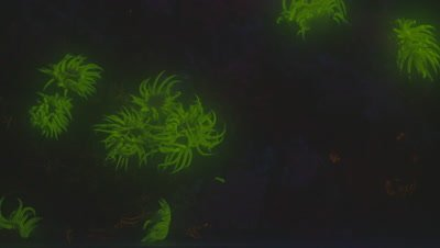 Snakelocks Anenomes fluorescing