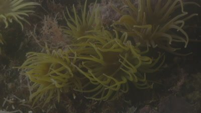 Snakelocks Anenomes with tentacles moving with the current