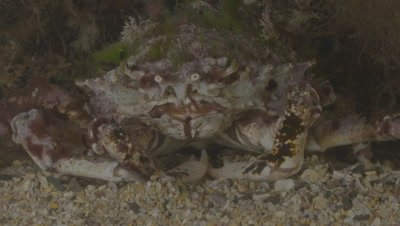 Spiney Spider Crab resting on course sand