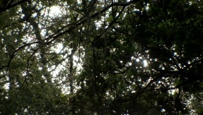 View of the sun through the tree canopy