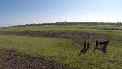 Aerial shot of Danube Delta Horses grazing in the wetlands