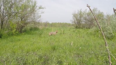 European Jackal traveling through wetlands