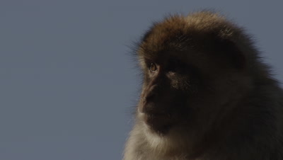 Barbary Macaque on the Gibraltar coast