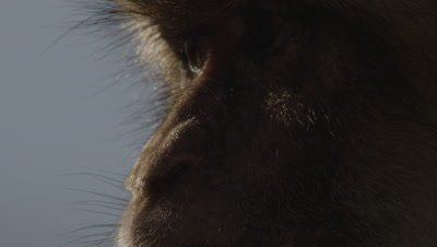 Close up of Barbary Macaque's face