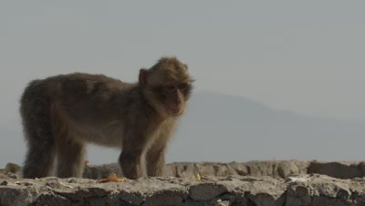 Barbary Macaque feeding at the top of a cliff on the Gibraltar coast