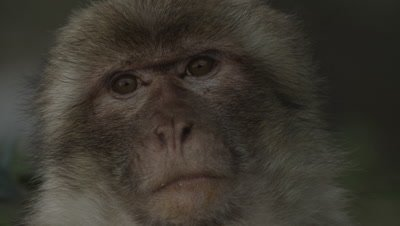 Close up of Barbary Macaque's face as it feeds