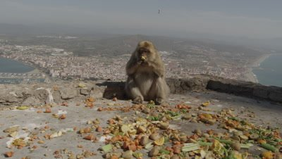 Barbary Macaques feeding at the top of a cliff on the Gibraltar coast