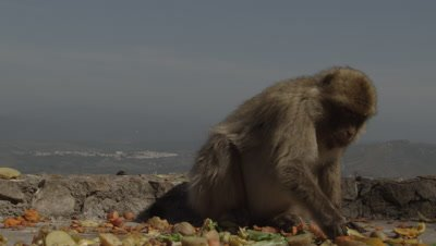 Barbary Macaque feeds at the top of a cliff on the Gibraltar coast