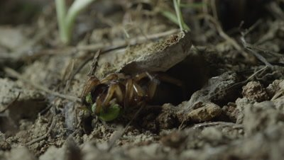 Trapdoor Spider springs out of burrow and captures insect