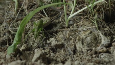 Grasshopper released as bait crawls over Trapdoor Spider burrow entrance
