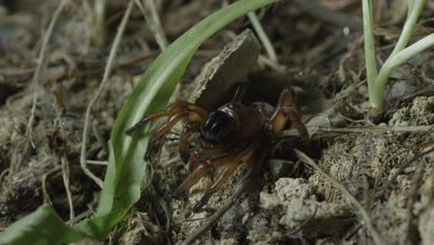 Trapdoor Spider retreats into burrow, lies in wait near entrance for prey
