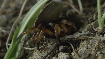 Trapdoor Spider retreats into burrow