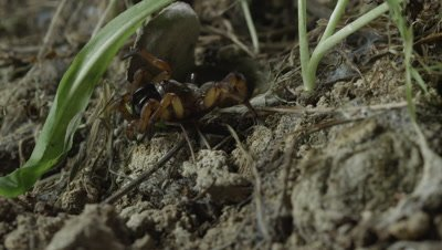 Trapdoor spider springs out of burrow and catches grasshopper