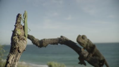 Chameleon in tree catches and eats a Praying Mantis