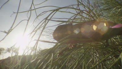 Chameleon crawls through a bush