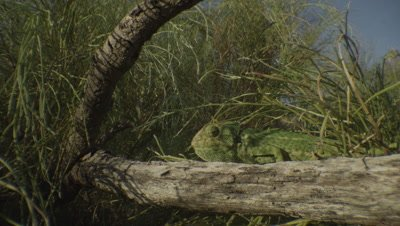 Chameleon walks along a branch