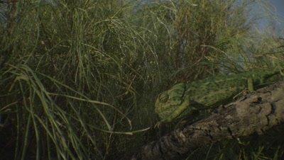 Chameleon climbs down a branch