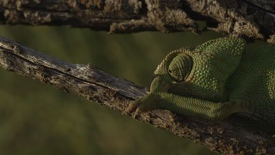 Chameleon climbs up a tree branch